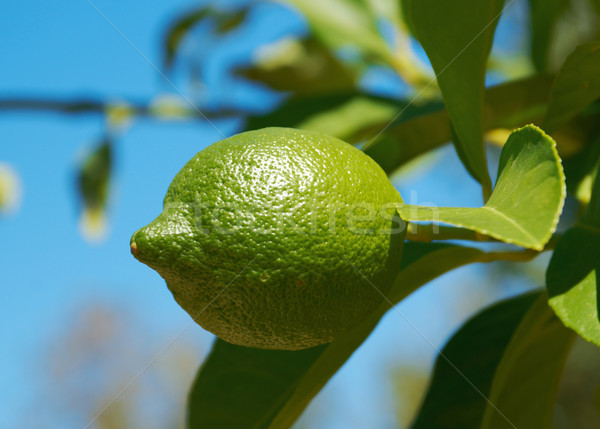 lemons on tree Stock photo © fanfo