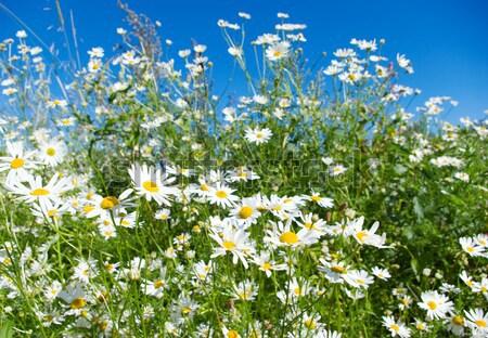 Piękna lata charakter ogród pozostawia Daisy Zdjęcia stock © fanfo