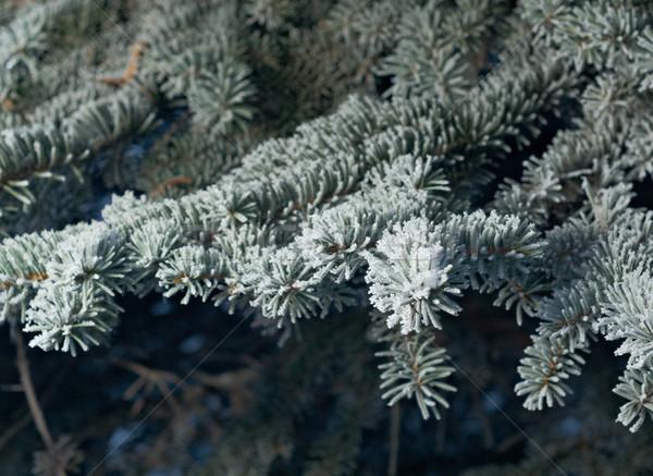 Tél fagy lucfenyő fa közelkép sekély Stock fotó © fanfo