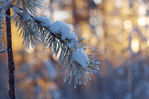 Kış manzara çam orman gün batımı Stok fotoğraf © fanfo