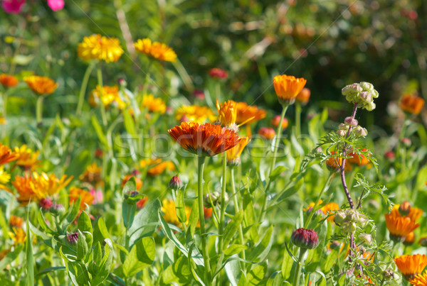 pot marigold (Calendula officinalis) fiel Stock photo © fanfo