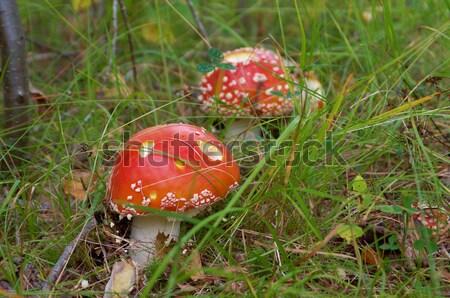 Venenoso cogumelo natureza floresta vermelho magia Foto stock © fanfo