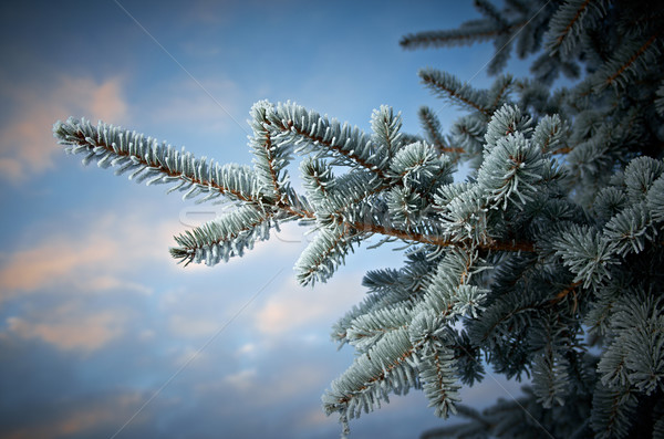 Winter frost on spruce tree  Stock photo © fanfo