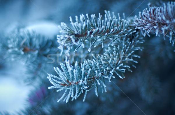 冬 霜 スプルース ツリー クリスマスツリー クローズアップ ストックフォト © fanfo