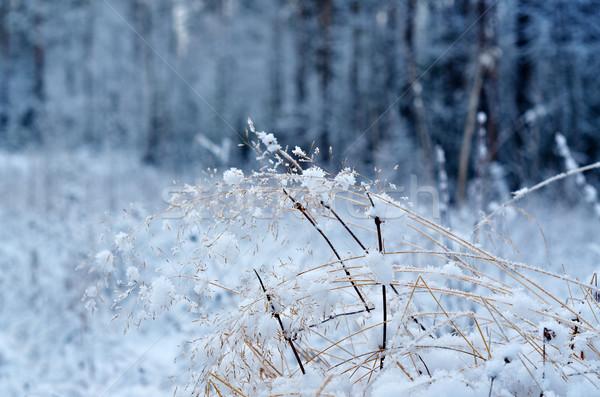 Téli tájkép virág fenyőfa erdő fa természet Stock fotó © fanfo