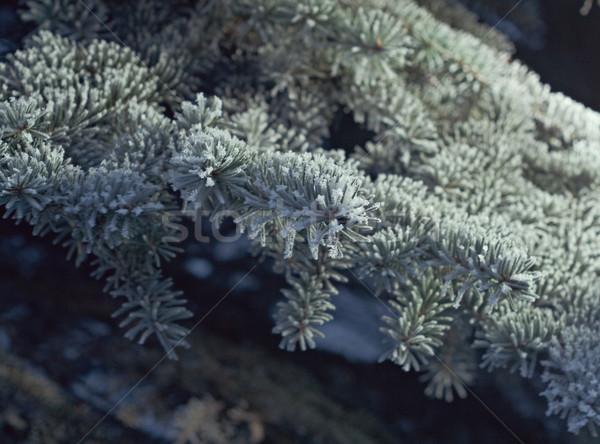 зима мороз ель дерево мелкий Сток-фото © fanfo