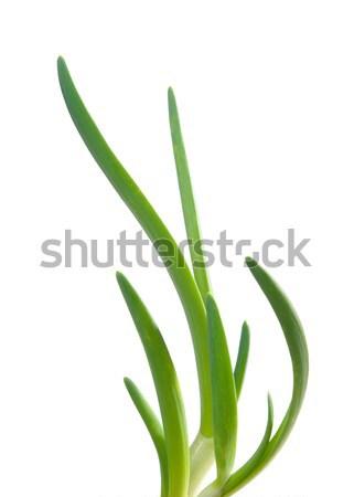 зеленый лук весны лука изолированный белый природы Сток-фото © fanfo
