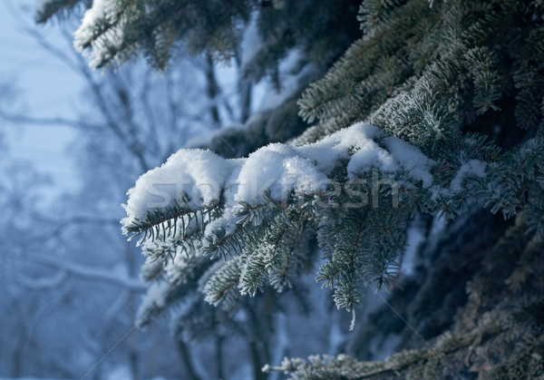 冬 霜 スプルース ツリー クローズアップ 浅い ストックフォト © fanfo