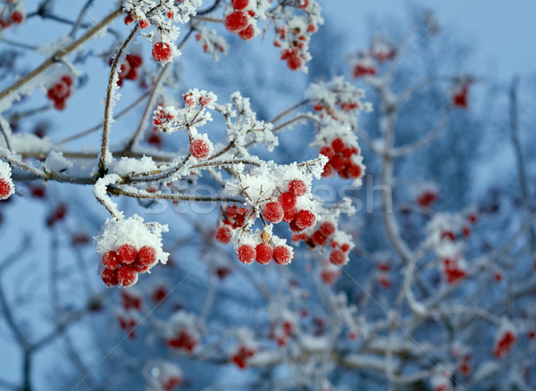 Red berries of viburnum with hoarfrost  Stock photo © fanfo