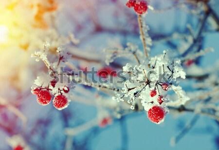 Foto stock: Rojo · bayas · cielo · árbol · madera