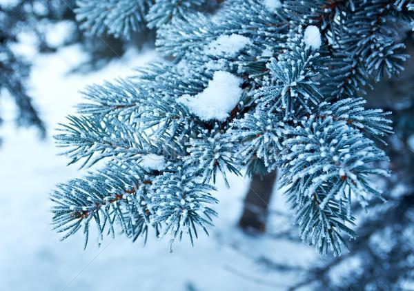 Kış don ladin ağaç noel ağacı Stok fotoğraf © fanfo