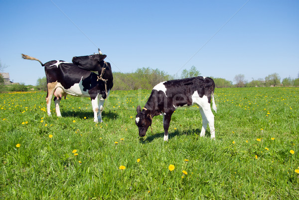 cows and calf in pasture Stock photo © fanfo