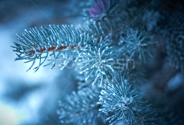 Inverno gelo abete rosso albero albero di natale primo piano Foto d'archivio © fanfo