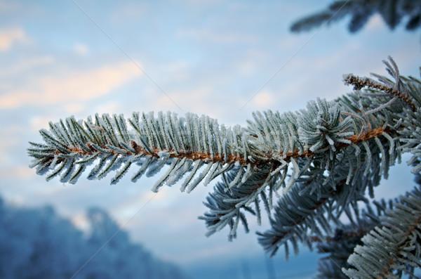 Inverno gelo abete rosso albero primo piano poco profondo Foto d'archivio © fanfo