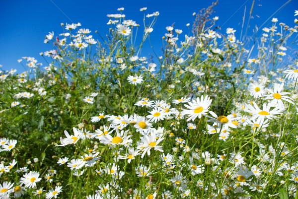 Kamilla természetes sekély mélységélesség természet kert Stock fotó © fanfo