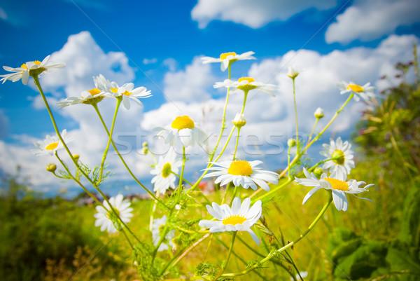 Piękna niebo lata charakter ogród pozostawia Zdjęcia stock © fanfo