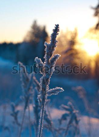 Winter scene  Stock photo © fanfo