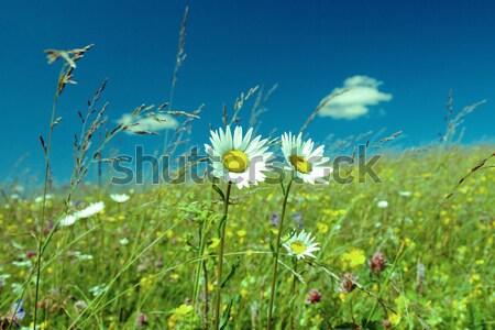 Zdjęcia stock: Zielone · łące · rumianek · piękna · charakter · ogród