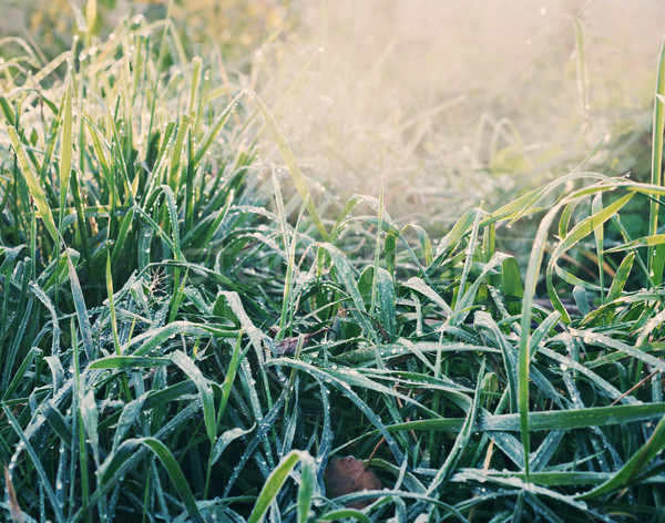 green grass with hoarfrost Stock photo © fanfo