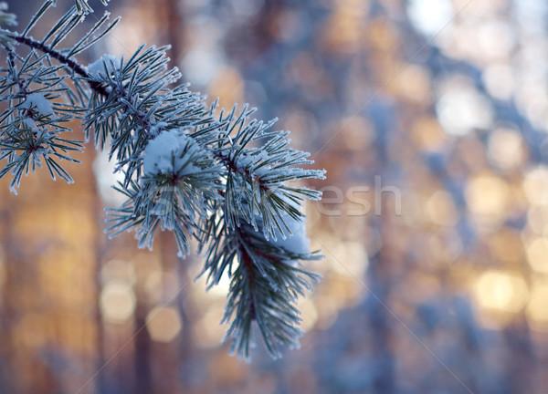 Tél tájkép téli tájkép fenyőfa erdő naplemente Stock fotó © fanfo