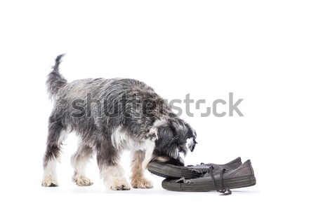 Schnauzer investigating an old pair of shoes Stock photo © fantasticrabbit