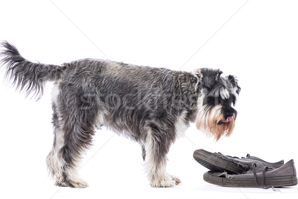 Schnauzer standing over a pair of old shoes Stock photo © fantasticrabbit