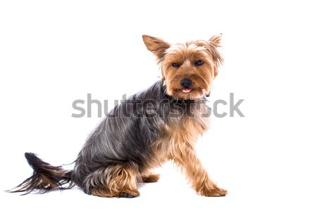 Adorable Yorkshire terrier on white Stock photo © fantasticrabbit