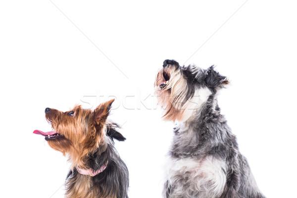 два собаки воздуха шнауцер сидят Сток-фото © fantasticrabbit