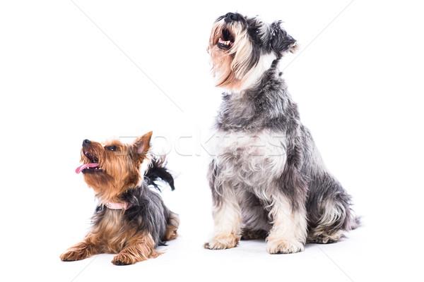 собаки белый копия пространства два небольшой Сток-фото © fantasticrabbit