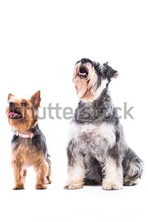 Iki çok güzel itaatkâr köpekler schnauzer yorkshire Stok fotoğraf © fantasticrabbit