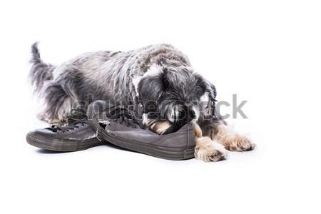 шнауцер пару старые обувь любимый Сток-фото © fantasticrabbit