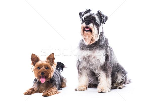 Fidèle famille chiens deux adorable alerter Photo stock © fantasticrabbit