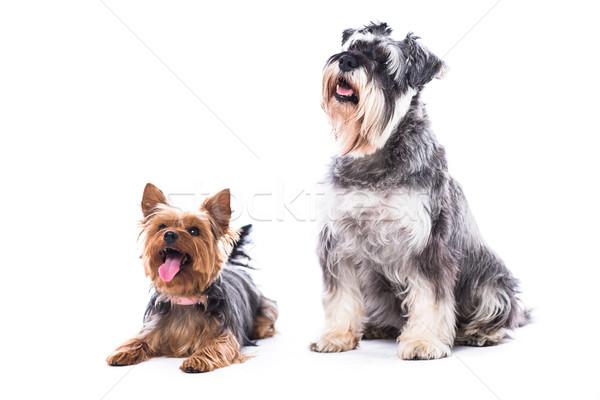 Iki itaatkâr köpekler oturma komuta yorkshire Stok fotoğraf © fantasticrabbit