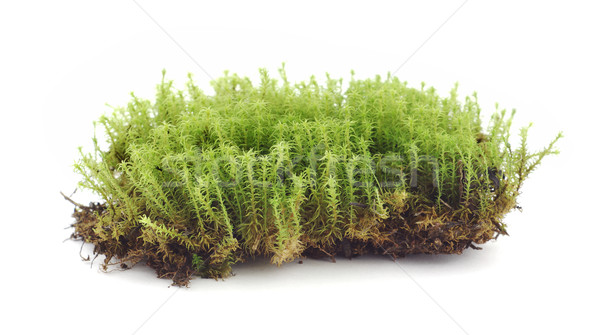 Musgo branco textura grama natureza terra Foto stock © farres