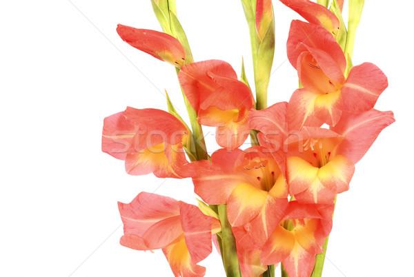 Gladiolus close-up Stock photo © farres