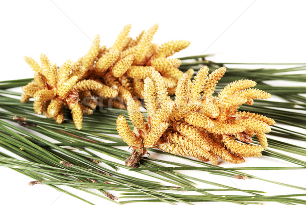 Pin fleur feuille arbre nature fond Photo stock © farres
