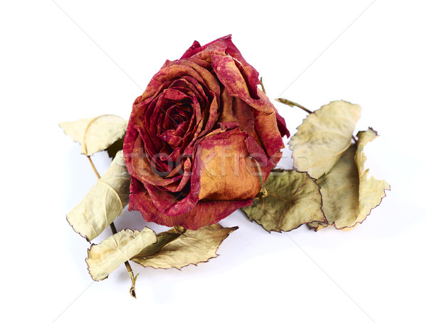 Dry rose Stock photo © farres