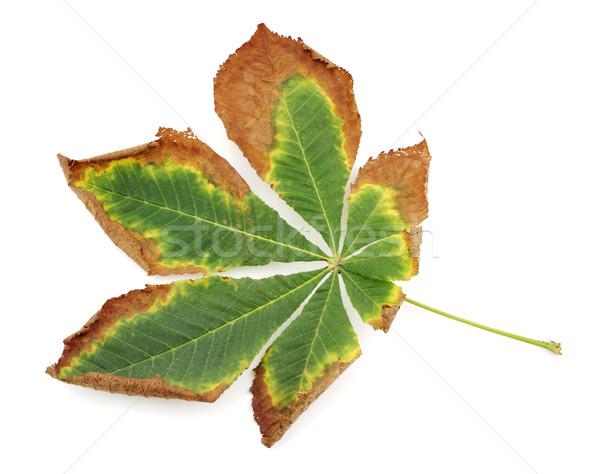 Autumn leaves Stock photo © farres
