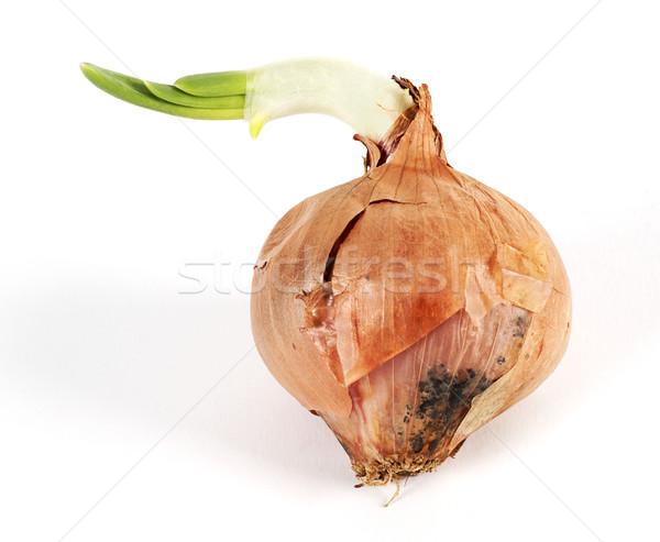 Onion outbreak Stock photo © farres
