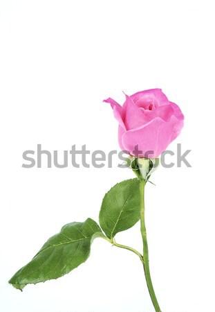 Gül bahar beyaz çiçek sevmek bitki Stok fotoğraf © farres