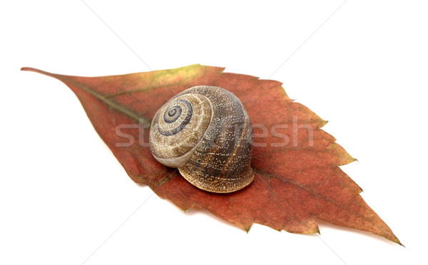 Snail in leaf Stock photo © farres