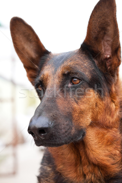 Guard Dog Stock photo © fatalsweets