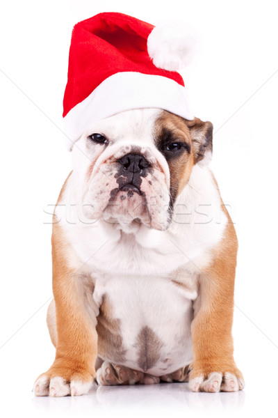 Gyanús mikulás angol bulldog kutyakölyök ül Stock fotó © feedough