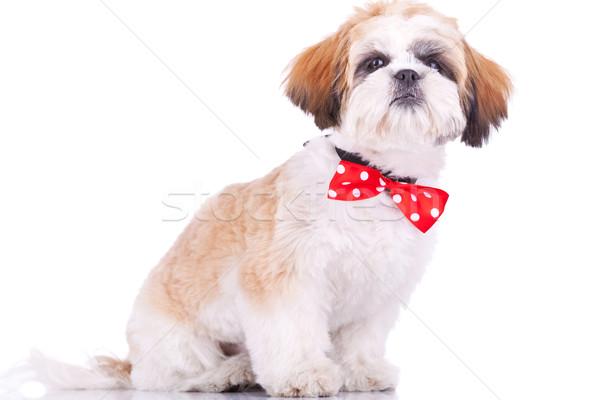 Foto d'archivio: Seduta · piccolo · cucciolo · indossare · rosso · collo