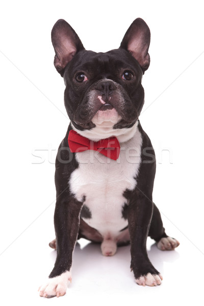 portrait of a cute french bulldog puppy wearing bow tie  Stock photo © feedough