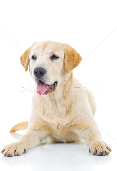Amarillo labrador retriever perro blanco estudio Foto stock © feedough