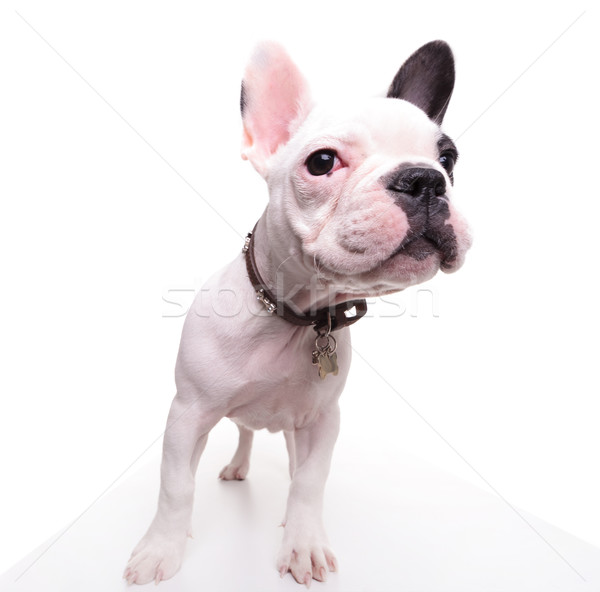 funny picture of a french bulldog puppy looking to side  Stock photo © feedough