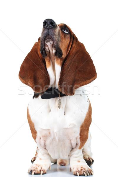 любопытный собака большой ушки вверх Сток-фото © feedough