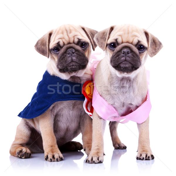 Stockfoto: Prinses · kampioen · puppy · honden · aanbiddelijk · witte