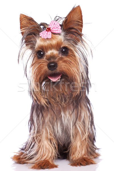 Stock photo: yorkshire terrier puppy dog sitting and panting